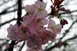 桜川の桜まつり