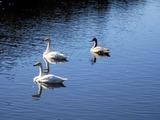 白鳥古徳沼10-11-15 5羽