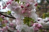 瓜連八重桜