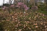 チューリップ茨城県植物園