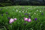 青山花菖蒲園