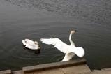 白鳥09-04-21古徳沼・中里