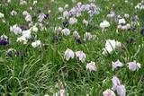 青山花しょうぶ園10-06-18四分咲
