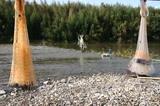久慈川縄張り漁