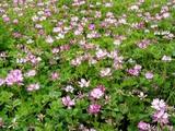 レンゲ畑08-05-19東海村石神内宿