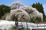 桜と雪10-4-17 (4)外大野のしだれ桜