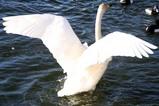 古徳沼10-1-18白鳥