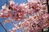 桜みなと町