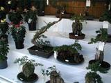 菊祭り水戸