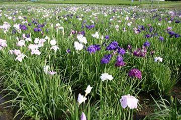 青山花しょうぶ園10-06-25満開すぎ見頃