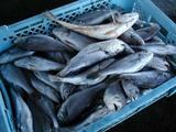 久慈漁港の魚061124