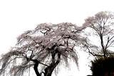 大子上岡の枝垂れ桜