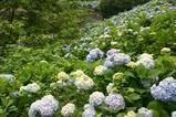 辰ノ口親水公園紫陽花園10-6-235分咲き見頃
