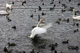 白鳥08-12-05