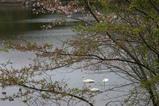 白鳥古徳沼