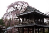 額田阿弥陀寺の桜