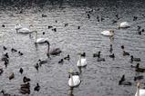 白鳥08-12-05古徳沼