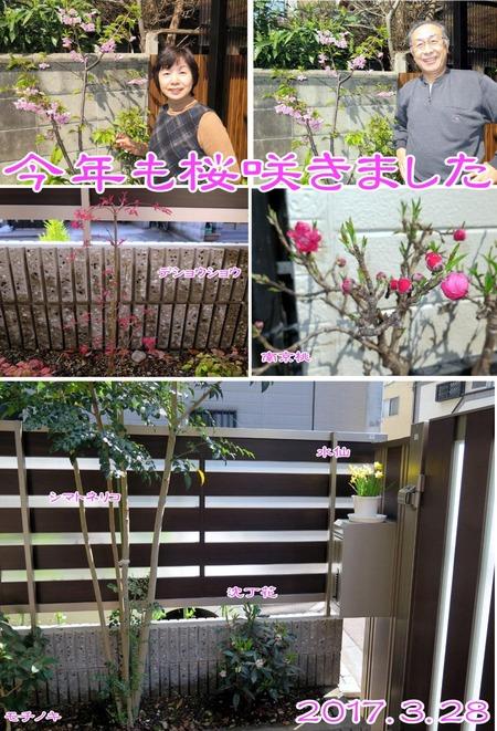 170328 桜咲く