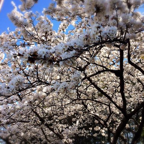 桜満開 (^O^)/