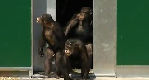 oddnews 猿の解放 動物愛護 HIV