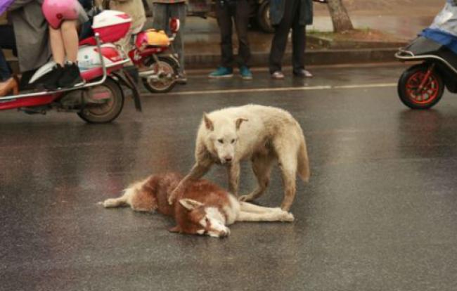 「誰か助けて!」交通事故で亡くなった仲間に駆け寄る心優しき犬 誰も見向きもしない光景と犬の愛に涙(画像あり) News Clicker-ニュースクリッカー