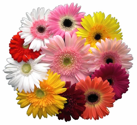 1239329243_photo ガーベラの花束です。「来る、来ない、来る、来ない・・・」と花び