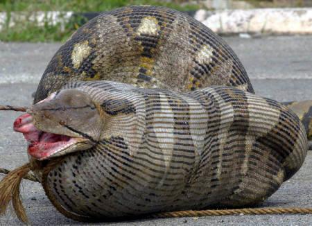 羊を丸呑みして身動き取れなくなったヘビ