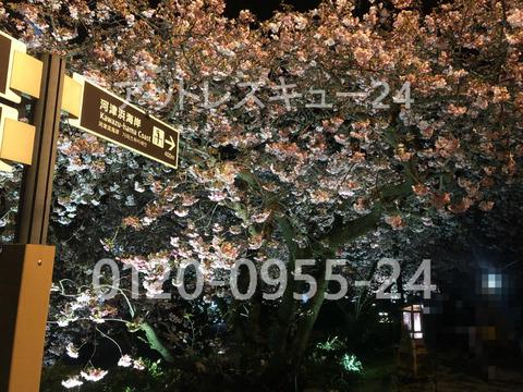 河津桜ライトアップ・河津川左岸の遊歩道