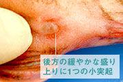 カサゴの肛門近くの雌の生殖器