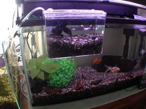 金魚 002