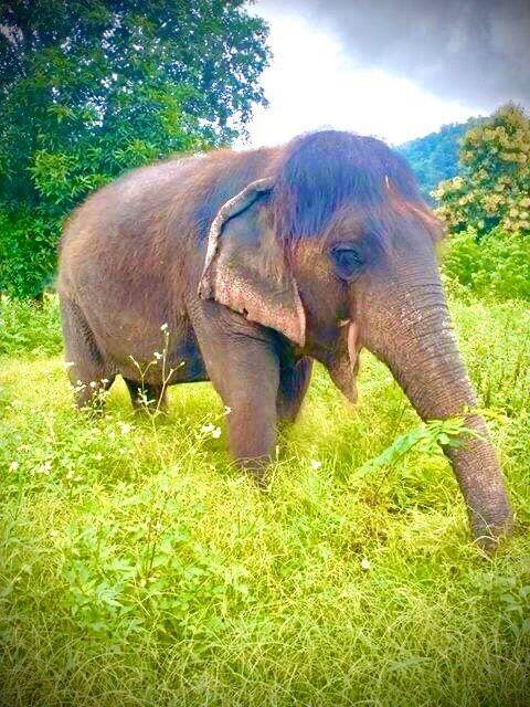 長い髪を持つおばあさん象ブンマー4