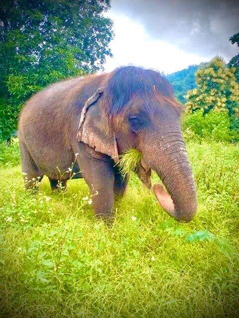 長い髪を持つおばあさん象ブンマー2