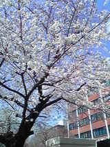 桜(立教大学)