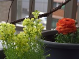 ベジタブル・カーテンにも春が近づいてきました。