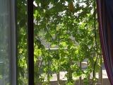 窓越しに見える緑のカーテン