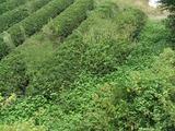 秋整枝をしようと茶畑を見てきました。