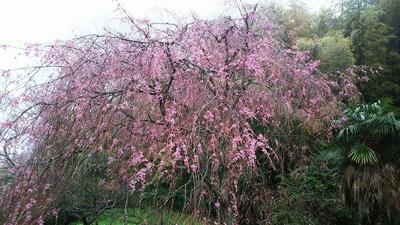 2017の桜