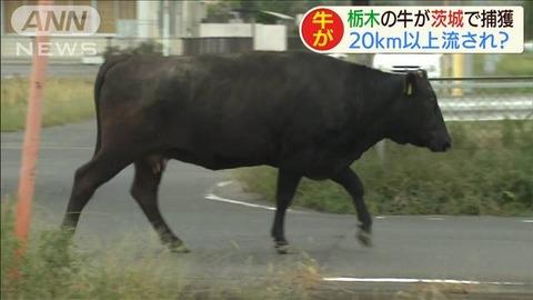 栃木から茨城に流された牛