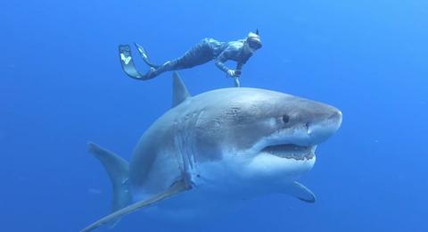 ホホジロザメと泳ぐ命知らずの美人ダイバー