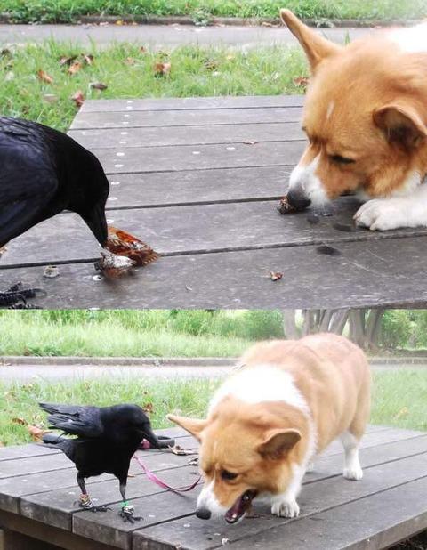 犬に餌をやるカラス