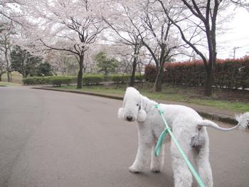 桜満開 早く行こう!