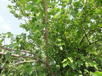 大きな桑の木