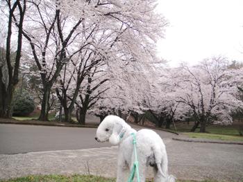 桜満開だねっ