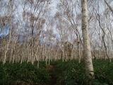 白樺林を行く