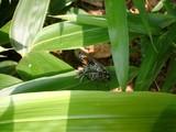 ジガバチ♂♀