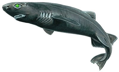 45-KITEFIN-SHARK-DALATIAS_LICHA