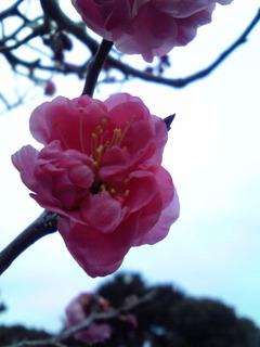服部緑地公園の梅