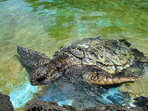 SLP turtle