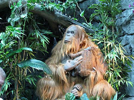 oranguatan