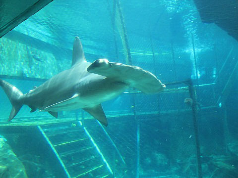 SLP shark